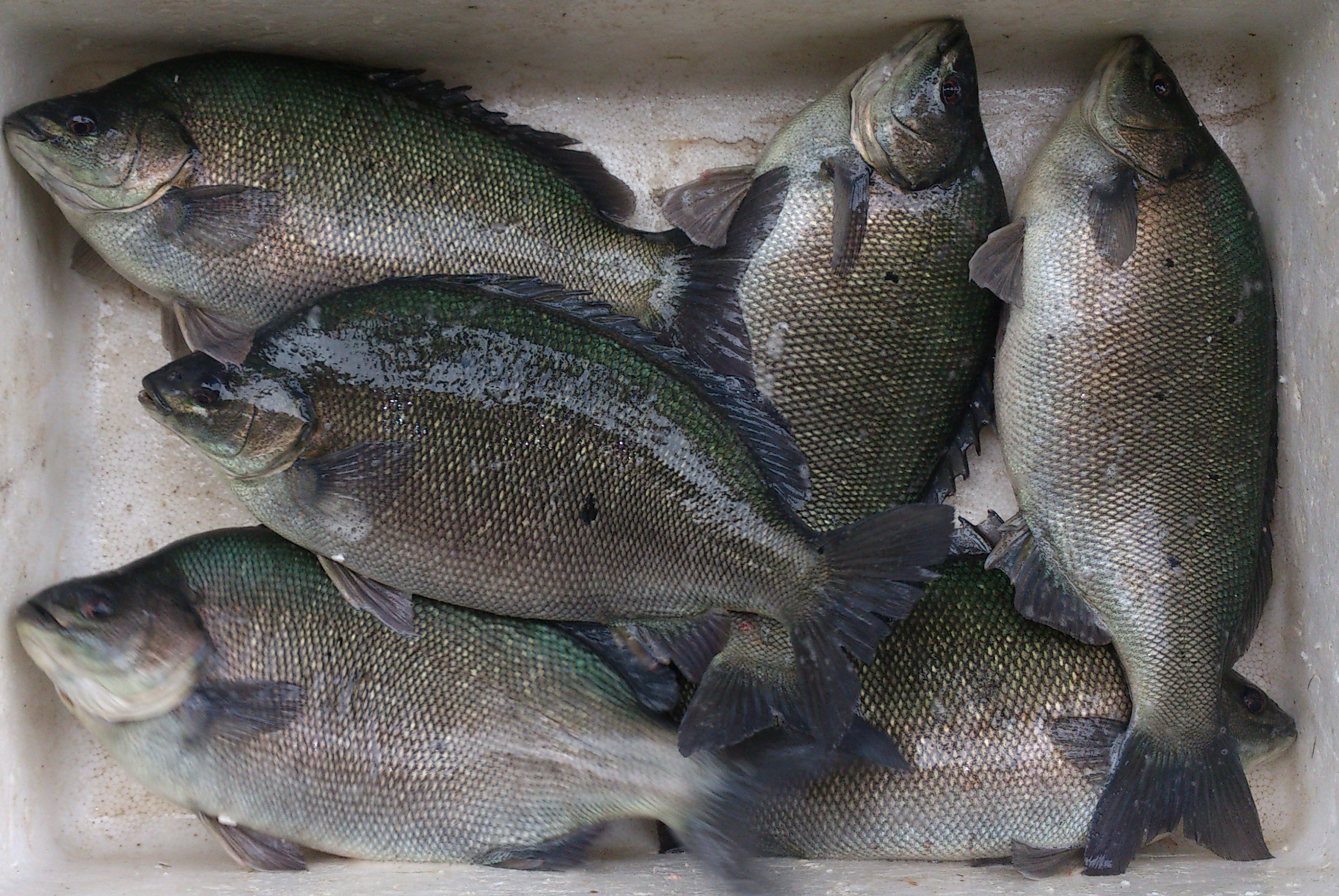 500gramjadeperch